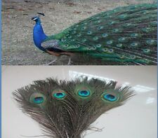 Natural color beautiful qualities of peacock feathers eyes 10-12 inches 25-30 cm
