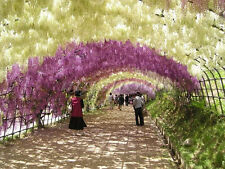 20 pcs Fresh Heirloom Wisteria Seeds Tree Seeds Sinensis Flower Vine 4 Color New