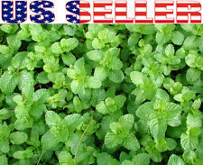 100+ ORGANIC Spearmint Seeds Herb Heirloom NON-GMO Organically Grown Fragrant