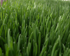 Organic hard red winter WHEAT GRASS SEED (BERRIES) for Sprouting Juicing
