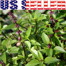 150+ ORGANIC Thai Basil Seeds Heirloom NON-GMO  Fragrant Flavorful Herb Asian