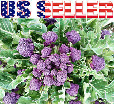 100+ ORGANIC Purple Sprouting Broccoli Seeds Heirloom NON-GMO Rare Delicious!!!