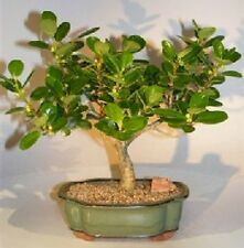 "Green Island Ficus Bonsai Tree Indoor Evergreen Bonsai  8 yr 11-12"" tall"