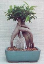 "Ginseng Ficus Bonsai Tree Indoor Evergreen Bonsai Medium 10 yr 12"" tall"
