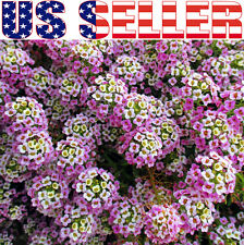 200+ Dwarf Pink Sweet Alyssum Flower Seeds Lobularia maritima Annual Purple USA