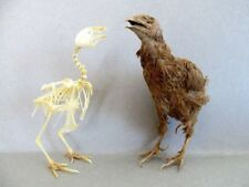 QUAIL Sp. 1 Bird Mount or Skeleton (You Pick) Taxidermy REAL Complete