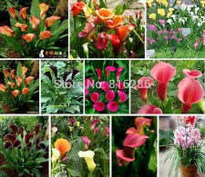 50 Pcs Bonsai and Colorful Calla Lily Seed, Rare Plants Flowers Seed, Calla Seed