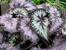 """Novelty Rex Begonia - See photo - Live plant 2"""" pots - Mix Group #1"""