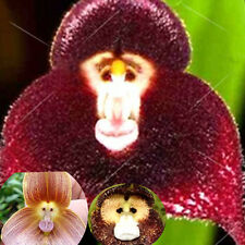 20Pcs Rare Monkey Face Orchid Flower Seeds Potted Plants For Home&Garden Decor