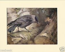 Jackdaw Hiding Ring Mounted 1930s Bird Print Black Cream or White Mounts