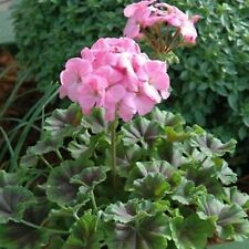 MINT CHOCOLATE GERANIUM SERIES 10 SEEDS MINTY FRAGRANCE 2 LOVELY COLORS & A MIX