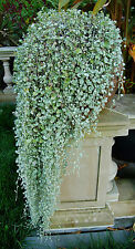 SILVER FALLS & EMERALD FALLS DICHONDRA THESE ARE STUNNING IN A HANGING BASKET