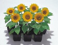 BIG SMILE SUNFLOWER SEEDS 12 IN. TALL WITH 5 IN. FLOWER GREAT FOR KIDS TO GROW