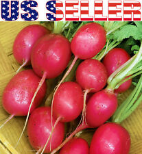 30+ German Giant Radish Seeds Sweet Heirloom NON-GMO Pink Mild Tasty Rare