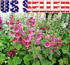 30+ Hollyhock Pink Malva Seeds Annual Flower Tall Heirloom Blooms Heavily Rose