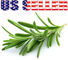 50+ ORGANIC Italian Rosemary Seeds Herb Heirloom NON-GMO Fragrant From USA