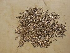 Einkorn Wheat Seeds - Ancient Black Einkorn - VERY RARE!