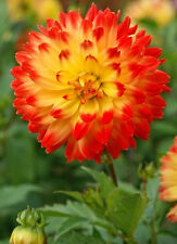 DAHLIA~PROCYON~LARGE RED & YELLOW BLOOMS FLOWERS SUMMER THRU FALL #1 SIZE TUBER