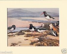 Oyster-Catchers Mounted 1930s Bird Print Black Cream or White Mounts
