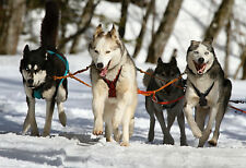 Siberian Husky Team On Pull - Animal Poster - Dog Photo - Dog Print - Wall Art