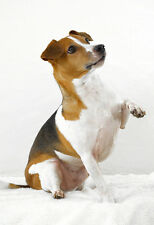 Cute Jack Russell Being Cute - Animal Poster - Dog Print - Dog Photo - Wall Art