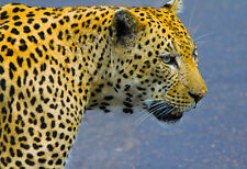 Portrait Of The Mighty Leopard - Animal Poster Print - Wildlife Photo - Leopard