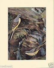 Grey-Wagtails Mounted 1930s Bird Print Black Cream or White Mounts