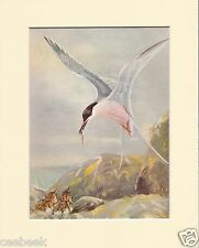 Roseate-Tern Bringing Fish To Its Young Mounted 1930s Bird Print Black Cream or