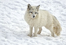 A Fox Standing In Winter Snow - Animal Poster Print - Wildlife Photo - Wall Art