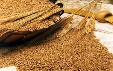 Common Wheat berries seed for flour, juice, grow or store from Oz up to Pounds