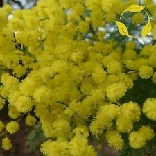 GREEN WATTLE ACACIA Acacia Decurrens SEEDS + EXTRA & FLAT SHIPPING