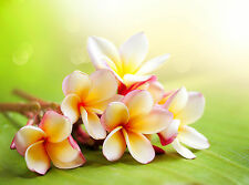 Plumeria Candle Fragrance / Soap Making Fragrance Oil 1-16 Ounce