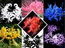 2 Bulbs, 8 Color Available, Lycoris Radiata, Spider lily, Lycoris Bulbs