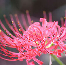 Pink Lycoris Radiata, Spider lily, Lycoris Bulb, 2 Bulbs