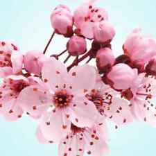 Japanese Cherry Blossom Cosmetic Fragrance Oil for Soaps, Candles, Bath & Body