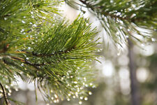 EVERGREEN PINE TREE Fragrance Oil for Candle Making, Warmers, Diffuser STRONG