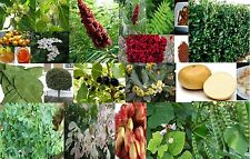 Mulberry Fruit Trees & Similar edible fruiting Yummy - seeds