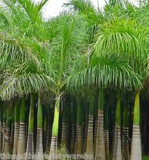 Royal Palm Tropical seeds Roystonea regia NEW seed Fast Shipping From USA!
