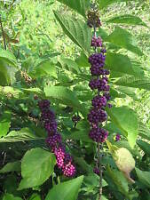Callicarpa Dichotoma 40/200/400 Seeds, Ornamental Purple Beauty Berry Shrub Bush