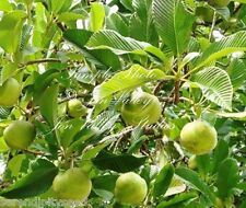 Dillenia indica seeds Elephant Apple Tree Tropical plant or Bonsai Gardening