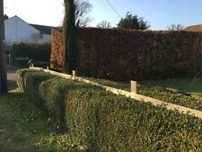 Box Hedging Buxus Semperviren Plants Hedge Rootball or Bare Root Bushy Evergreen