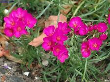 "Calandrinia Umbellata "" Ruby Tuesday""  x Fresh Seed"
