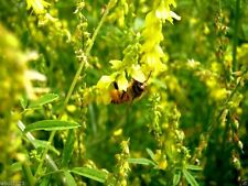 Sweet Clover,Honey,Wildlife Food Plots,Pastures,Hay Green Manure And Covercrops!