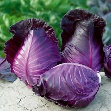 Red Cabbage KALIBOS Heirloom Organic Seeds