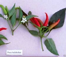 Sadabahar Chili ,Extremely Hot Heirloom Pepper from India,Use fresh or dried.