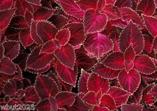 Coleus Seeds - Velvet Red,very Showy,Easy To Grow,Shade Loving Plant!