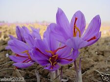 Saffron plant bulbs,Grow  the World's Most Expensive Spice ! Beautiful Too !