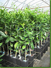 Free Delivery Grafted Citrus Trees Orange Lemon Lime Tangerine Grapefruit Fruit
