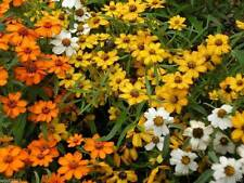 Zinnia Flowers Seed - Classic mix - Orange/White/Yellow - Zinnia linearis