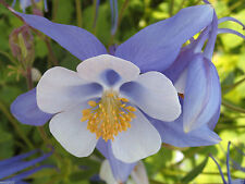 Aquilegia coerulea (Colorado Blue Columbine) the state flower of Colorado.